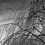 Leafless Willow